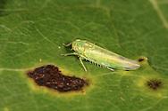 Leafhopper - Kybos populi