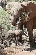 Kenya, Samburu National Reserve, Kenya, female African Elephant nurses young offspring