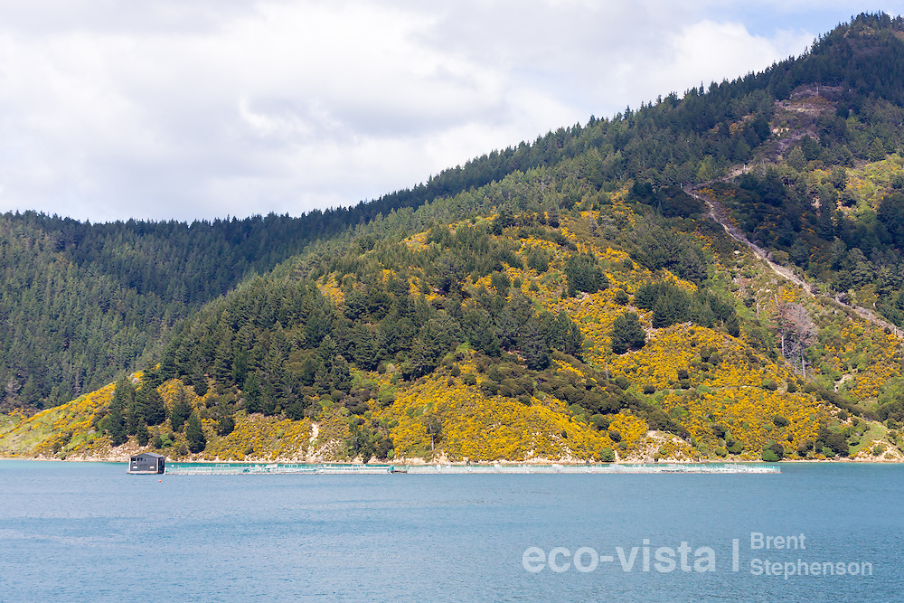 The picturesque Tory Channel belies a struggle between the introduced invasive gorse (Ulex europaeus) and Monterey pine (Pinus radiata) and the native vegetation that once cloaked the hillsides, and development from controversial fish farms. Wilding pines growing from windblown seeds from nearby forestry blocks are very invasive and causing much concern over the future of native habitats in the area. Tory Channel, Marlborough Sounds, New Zealand. September.