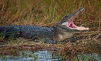 Can You Say Ahhhh! Alligator at Merritt Island Wildlife Reserve along Black Point Wildlife Drive. Image taken with a Nikon D3x and 500 mm f/4 VRII lens (ISO 100, 500 mm, f/4, 1/500 sec).