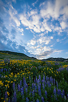 Lupine and yellow balsamroot wildflowers cover the hills of Albion Basin as the sun illuminates the clouds just after sunrise.