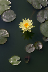 Water Lily, yellow, #16