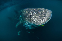 A whale shark, Rhincodon typus, followed by herds of remoras in Triton Bay, West Papua, Indonesia