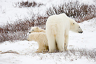 01874-109.07 Polar Bears (Ursus maritimus) female & 2 cubs near Hudson Bay, Churchill  MB, Canada
