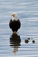 Bald Eagle (Haliaeetus leucocephalus) (Halietus leucocephalus)