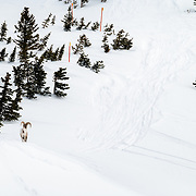Skiers encounter a Teton Bighorn Sheep along the Cody Travers just outside the boundaries of JHMR.
