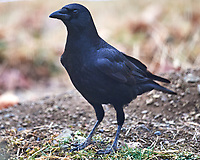 Black Crow. Image taken with a Nikon D5 camera and 600 mm f/4 VR lens (ISO 400, 600 mm, f/4, 1/640 sec).