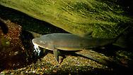 Longnose Sucker, eating a piece of dead fish<br /> <br /> ENGBRETSON UNDERWATER PHOTO