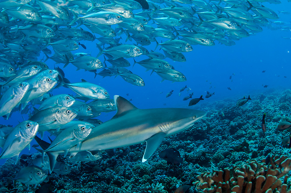 Silvertip Shark, Carcharhinus albimarginatus, swims along Avatoru Pass in Rangiroa, French Polynesia, while it is mobbed by a school of Bigeye Trevally, Caranx sexfasciatus Image available as a premium quality aluminum print ready to hang.
