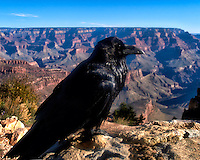 Raven Guarding the Grand Canyon. Gone to See America 2013. Image taken with a Leica X2 camera (ISO 100, 24 mm, f/11, 1/500 sec).