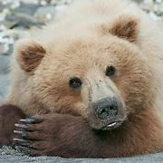 Alaska brown bear (Ursus middendorffi) resting on a sandy beach. Katmai National Park & Preserve, Alaska