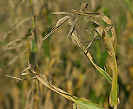 Stock shots of corn plants that have died due to the 2006 drought in Nebraska..Photo stock for Ethanol in the Midwest. Photo by Chris Machian