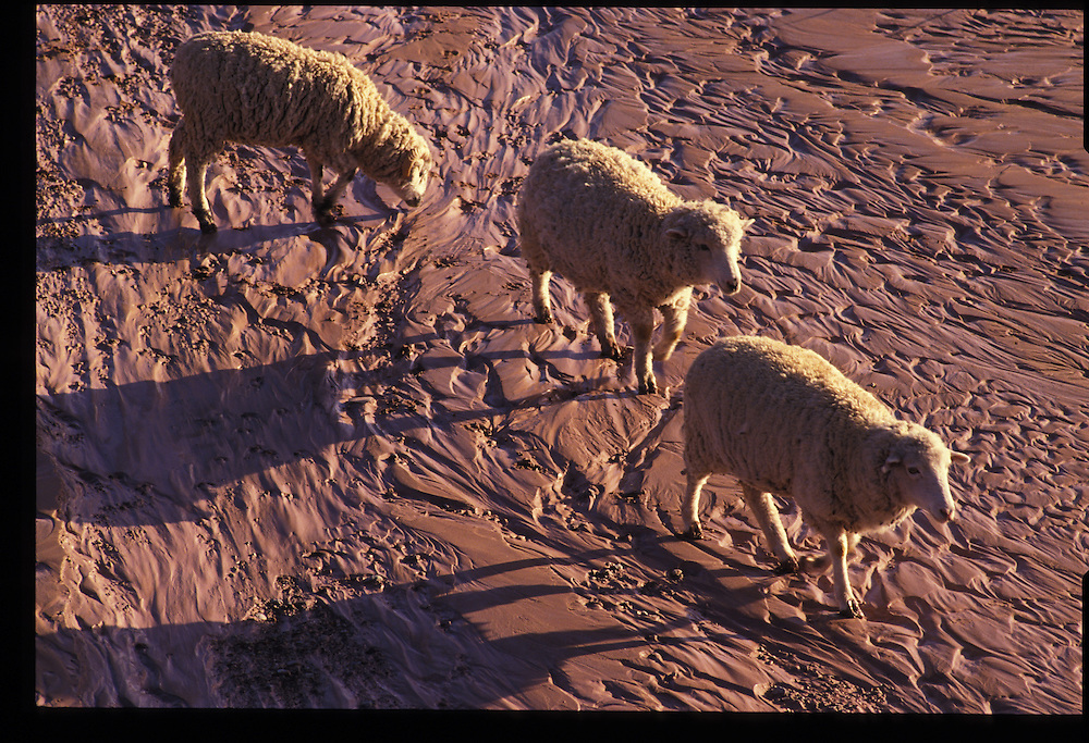 Sheep crossing creek bed near Oljato, Utah.