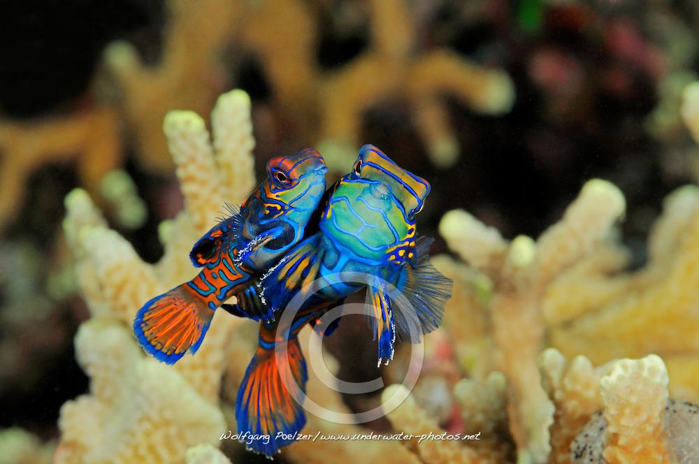 Synchiropus splendidus, Paarung vom Mandarin-Leierfisch, Mandarinfisch, mating Mandarinfish, Bali, Banyuwedang-Bay - Mandarinpoint, Indonesien, Indopazifik, Bali, Indonesia Asien, Indo-Pacific Ocean, Asia