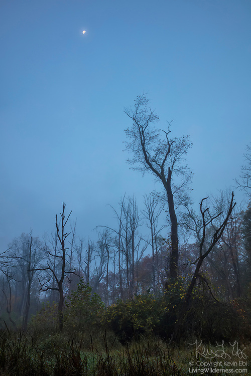 A partial moon shines over bare trees on a foggy autumn morning in the Beaver Marsh area of Cuyahoga Valley National Park, Ohio.
