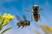 Two leafcutter bees (Genus: Megachile) depart a goldenrod flower (Solidago sp.) after collecting nectar and pollen.