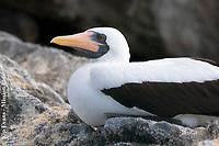 Nesting Booby, Galapagos National Park
