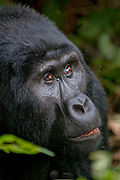 Mountain Gorilla (Gorilla berengei berengei) from Bwindi Impenetrable National Park, Uganda.