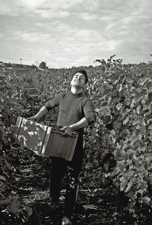 man at vendange carrying  harvested grapes,black and white,verticle