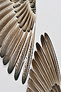 The wings of two different Buff-breasted Sandpipers (Tryngites subruficollis) in the spread bird wing collections of the Burke Museum of the University of Washington.