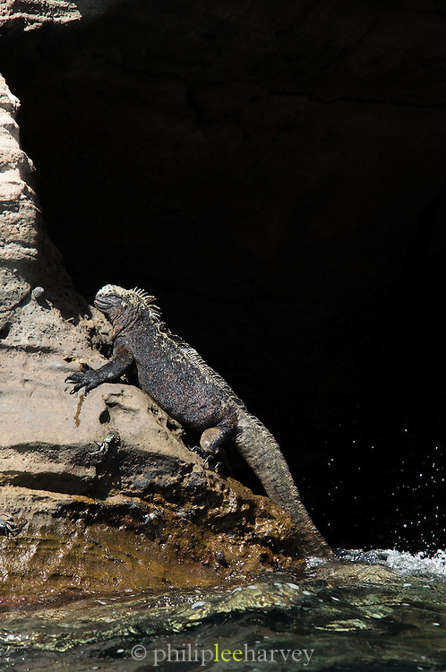Marine Iguana (Amblyrhynchus cristatus) basking on coastal rocks, Isabella Island, Galapagos Islands, Ecuador
