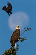 A Northwestern Crow (Corvus caurinus) dives to attack a Bald Eagle (Haliaeetus leucocephalus) as it watches over its nest in Kirkland, Washington. The nearly full moon is visible in the background. Crows are often seen chasing hawks or eagles in flight, or repeatedly diving at them when they perched, a practice known as mobbing. Research is inconclusive, but scientists think this harassment helps to force the birds of prey to hunt elsewhere, ultimately reducing the threat to the crows and lowering competition for food.