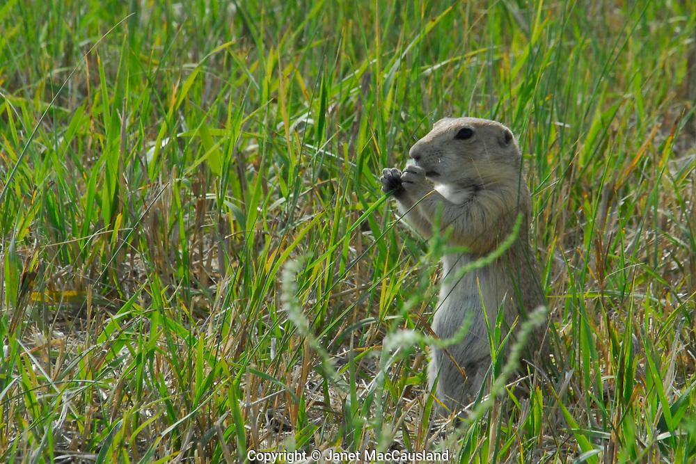 A Black-tailed Prairie Dog is Eating near Valentine.