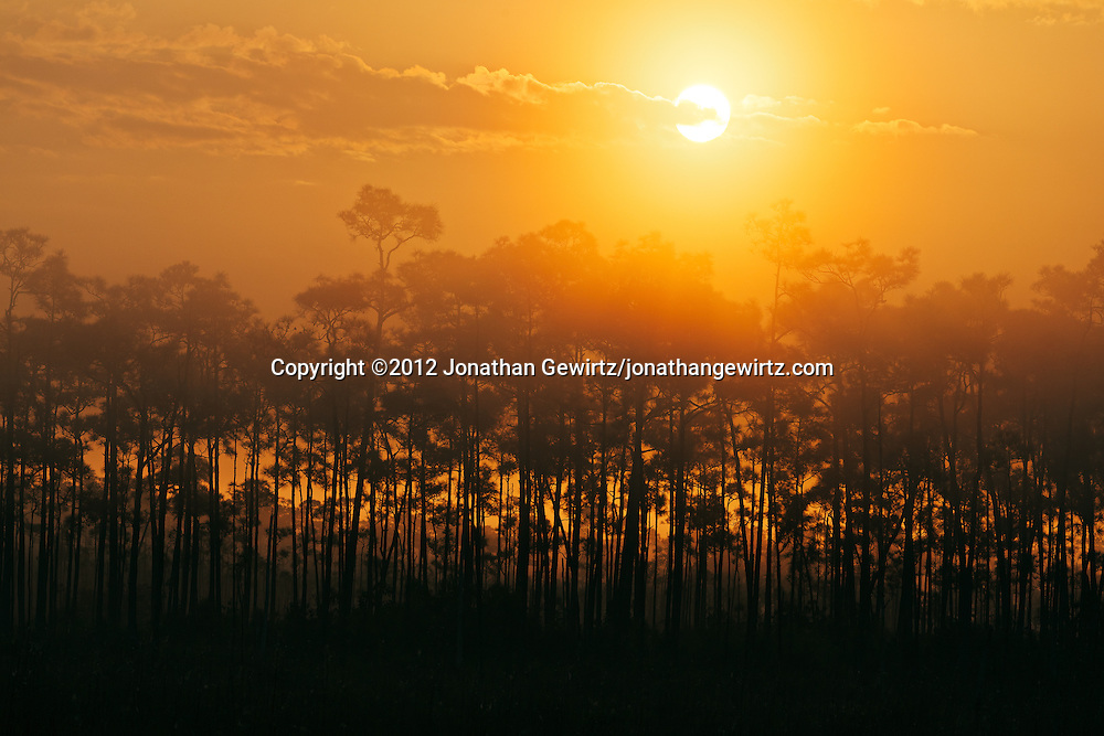 The sun rises above a pine hammock on a foggy morning in Everglades National Park, Florida. WATERMARKS WILL NOT APPEAR ON PRINTS OR LICENSED IMAGES.