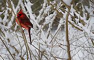 Cardinal sighting on March 1 in Marshfield, Mass.