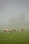 A flock of sheep on a Tuscan estate on a foggy, rainy morning south of Siena. Tuscany, Italy.