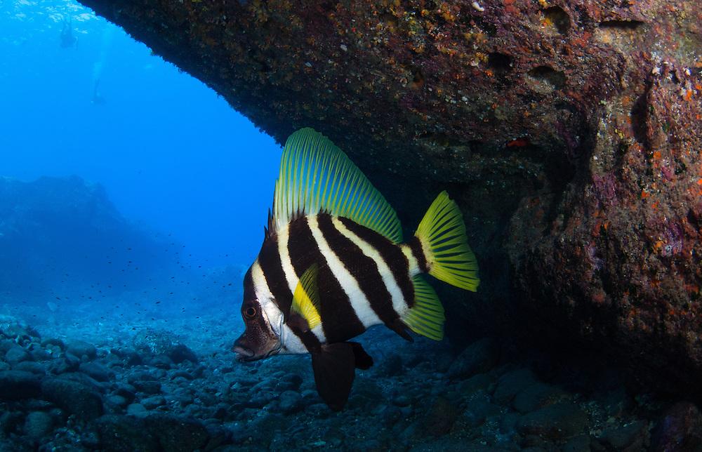 Kermadecs Marine Reserve Striped boarfish, Evistias acutirostris
