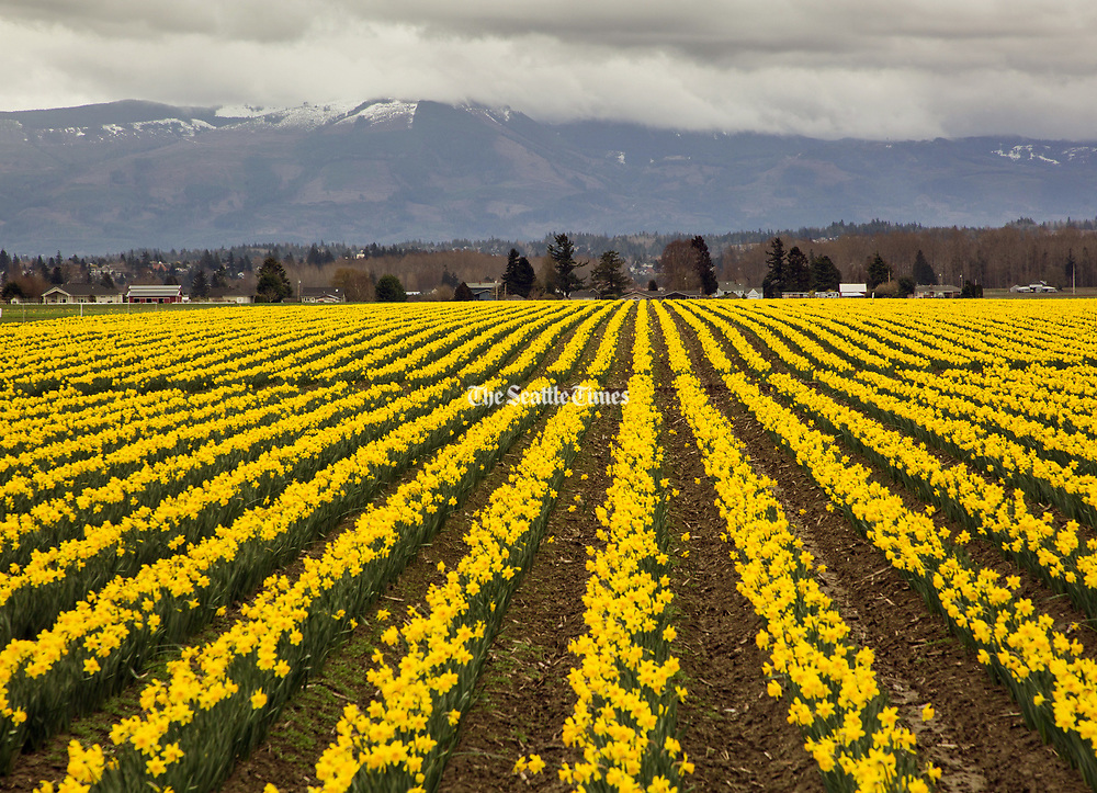 A field of daffodils in bloom along Beaver Marsh Road in Mount Vernon. (Mike Siegel/The Seattle Times)