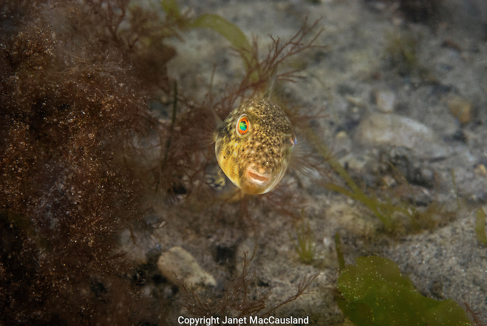A juvenile Northern Puffer (Sphoeroides maculatus) reflects a spectrum of light from its eyes in a quiet cove in Narraganset Bay, Rhode Island.