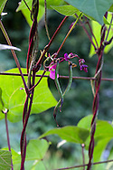 One of two bean varieties I grow in my backyard garden in the Fraser Valley of British Columbia, Canada.  Not sure of this variety, but the beans are purple until they are cooked at which point they are indistinguishable from regular green beans.