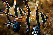 Banggai cardinalfish (Pterapogon kauderni) photographed in Lembeh Strait, where they were introduced by aquarium fish collectors in 2000.