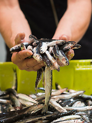 Man holding anchovy fish, Getxo, Algorta, Basque Country, Biscay, Spain, Europe