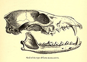 "Skull of Canis magellanicus From the Book Dogs, Jackals, Wolves and Foxes A Monograph of The Canidae [from Latin, canis, ""dog"") is a biological family of dog-like carnivorans. A member of this family is called a canid] By George Mivart, F.R.S. with woodcuts and 45 coloured plates drawn from nature by J. G. Keulemans and Hand-Coloured. Published by R. H. Porter, London, 1890"