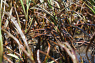 5/24/2010  BP oil  on marsh grass on a barrier island in Plaquemines Parish,Louisiana in Barataria Bay.
