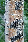 Silvery bark on a tree at Convict Lake, near Mammoth Lakes, California.