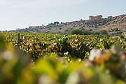 The Temple of Concordia (Tempio della Concordia) in the Valley of Temples is an ancient Greek settlement near Agrigento, Sicily, Italy. Here, it is seen over a vineyard of Nero d'Avola grapes.