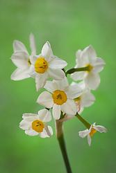 Narcissus 'Killara'