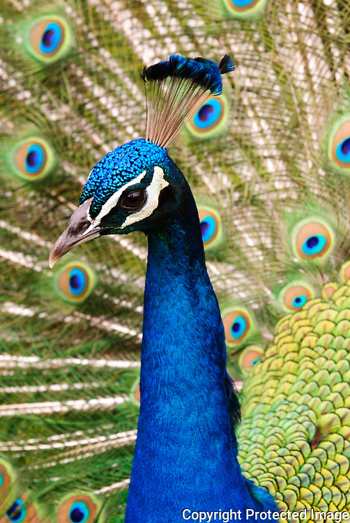 A close up image of the head of a male peacock in the Honolulu Zoo.