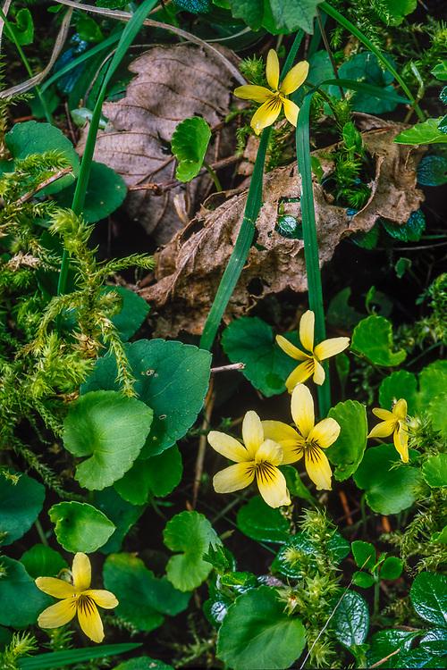 Yellow wood violets (Viola glabella), spring, Olympic Peninsula, Washington, USA