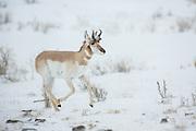 Pronghorn antelope during winter