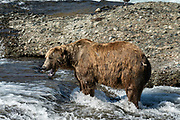 An elderly adult grizzly bear boar known as Ears fishes for chum salmon in water of the upper McNeil River falls at the McNeil River State Game Sanctuary on the Kenai Peninsula, Alaska. The remote site is accessed only with a special permit and is the world's largest seasonal population of brown bears.