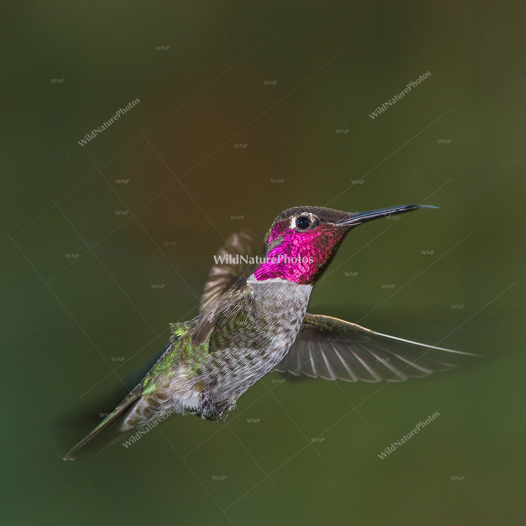An Anna's Hummingbird (Calypte anna) male, perched, defending his favored flowers from other hummingbirds