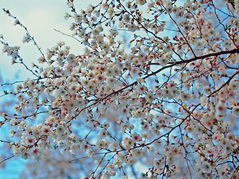 Cherry Blossoms, Branch, Brooklyn Botanic Garden, Brooklyn, New York