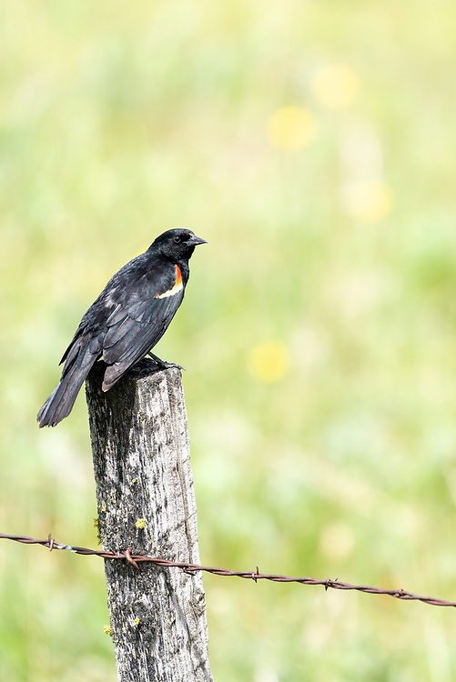 Red-winged blackbird on a fence post, Zumwalt Prairie, Oregon.