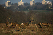 Young red deer stags in Richmond Park enjoy the winter sun January 22nd 2017 in London. Hundreds of wild red and fallow deer roam freely in the park and can easily be found when walking in the park. In the back ground is a cluster of housing estates in Rhoehampton, London.