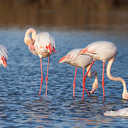 Flamingos group washing